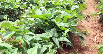Beans Farming business in nigeria