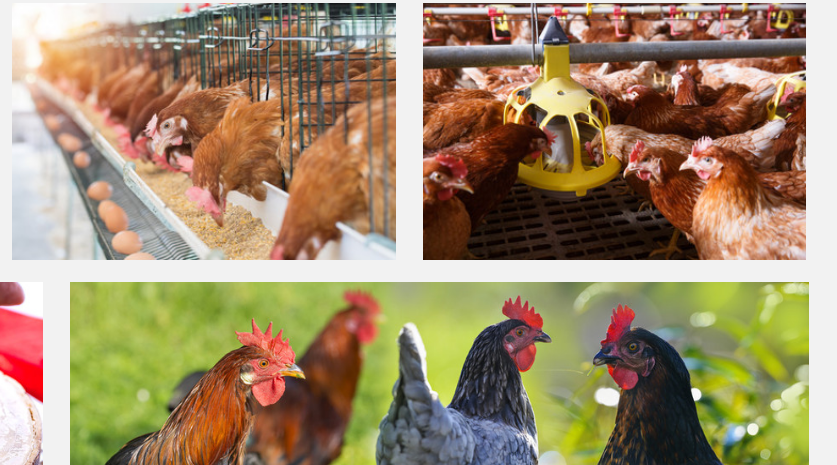 Best Poultry Feed in Nigeria & Their Prices 2019 | LewisRayLaw